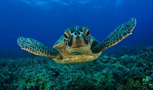 Video sea turtle caretta, nesting, reproducing, Natura area,sandy beach Elaia,dunes